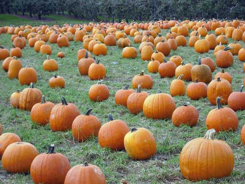 pumpkins500.jpg
