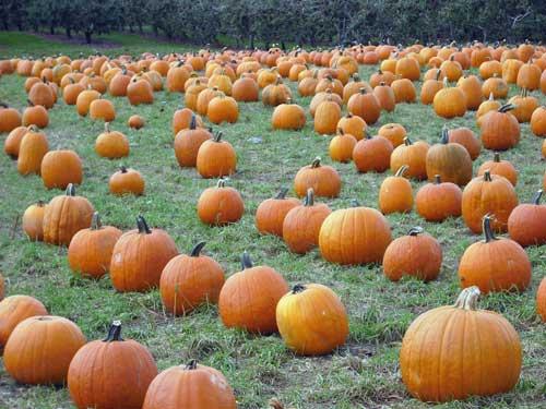 pumpkins500.jpg