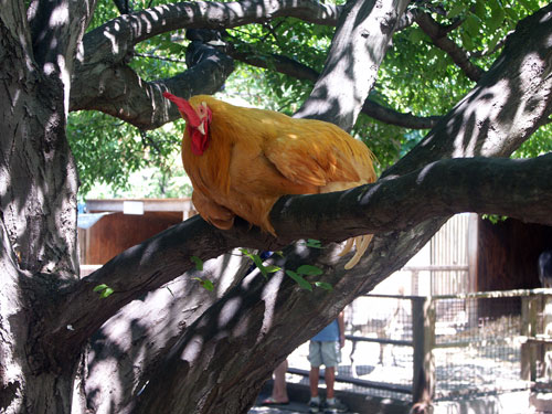 chickenintree.jpg