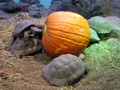 turtlepumpkin.jpg