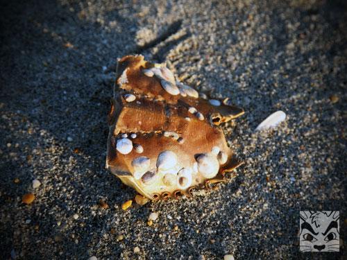 CrabShells